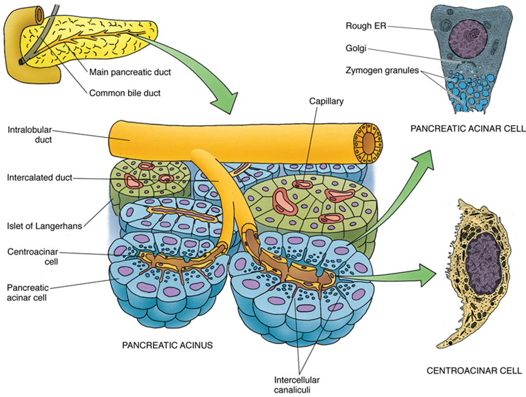 Anatomy And Histology Of The Pancreas Eurocytology
